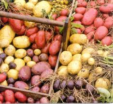 A selection of various types of potatoes