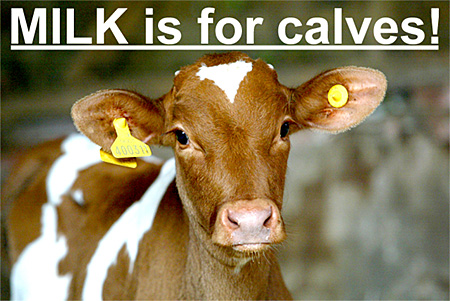 MILK is for calves picture