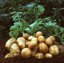 Potatoes fresh out of the ground with their shaws